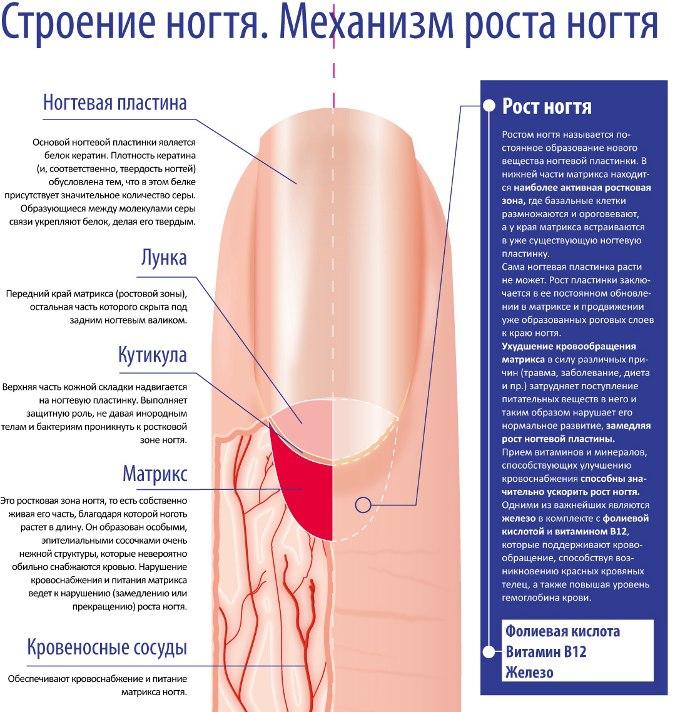 Строение ногтя. Механизм роста ногтя